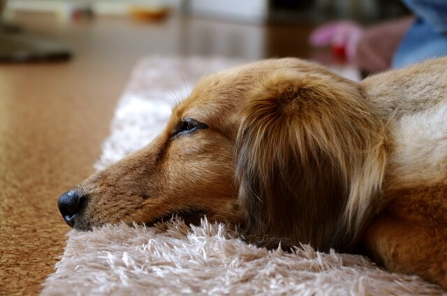 マットで寝ているダックスフンド