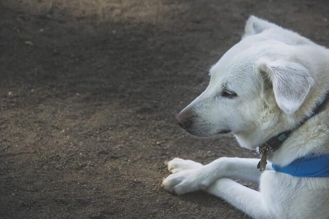 足を組んで寝る白い犬