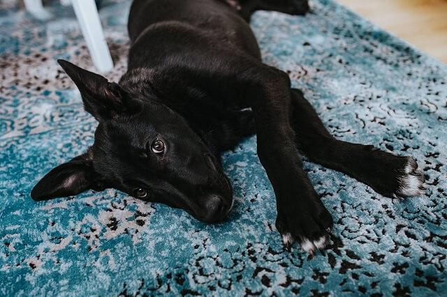 カーペットに寝転ぶ黒い犬