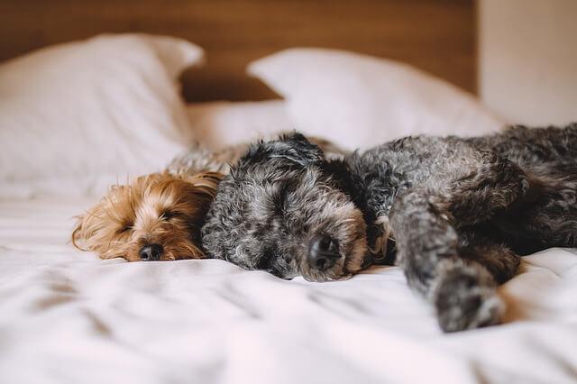 ベッドで寝ている2匹の犬