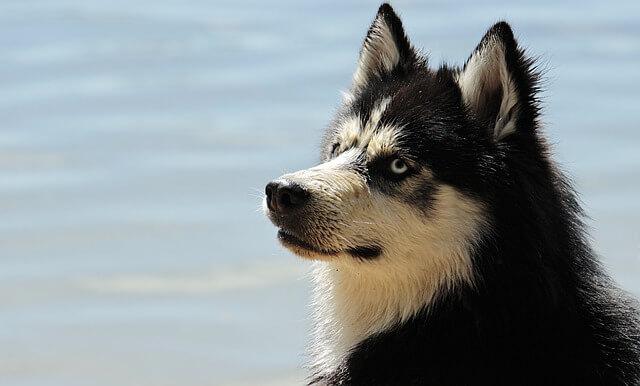 海を見るハスキー