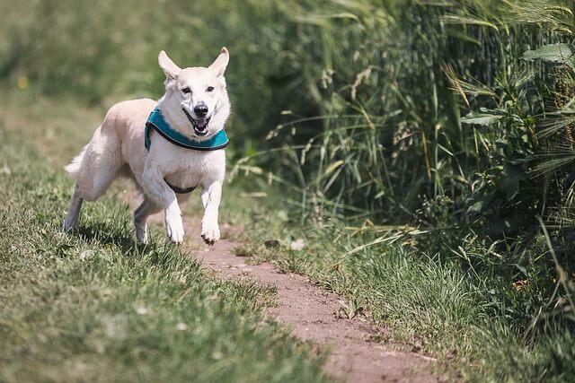 草むらを走る白い犬