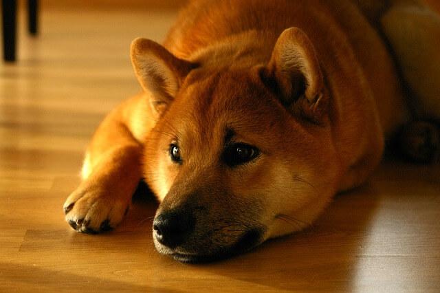 フローリングで寝る柴犬
