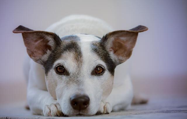 伏せをしながらまっすぐ見ている犬