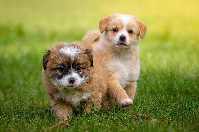 野原を歩く二匹の子犬