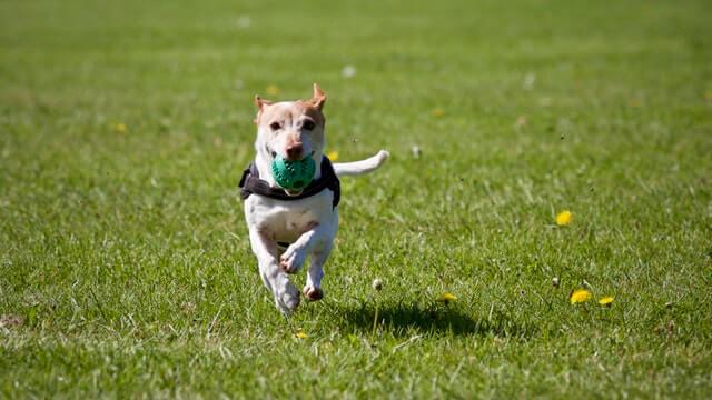 ボールを噛みながら草原を走る犬