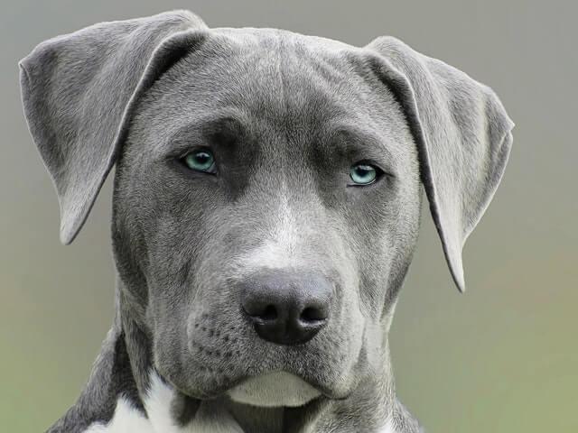 瞳が青い灰色の犬