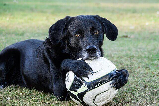 ボールを掴んで離さない黒い犬