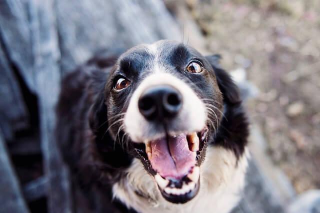 見上げながら微笑む犬