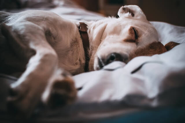 布団でぐっすり寝る犬