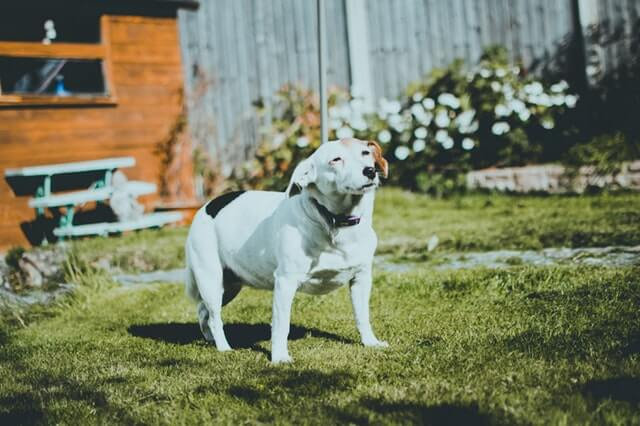 庭で太陽を見る犬