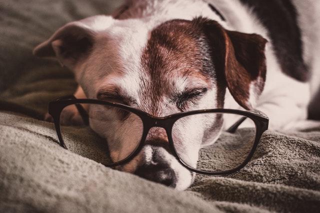 眼鏡をかけて寝る犬