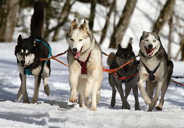 雪道を走る4頭のハスキー
