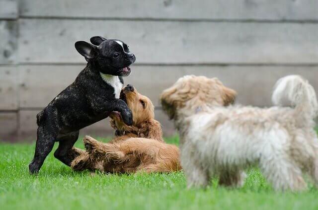 庭で遊ぶ3匹の子犬