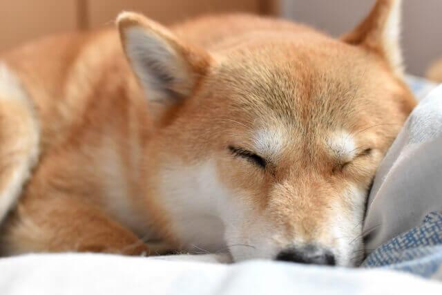 目を瞑る柴犬