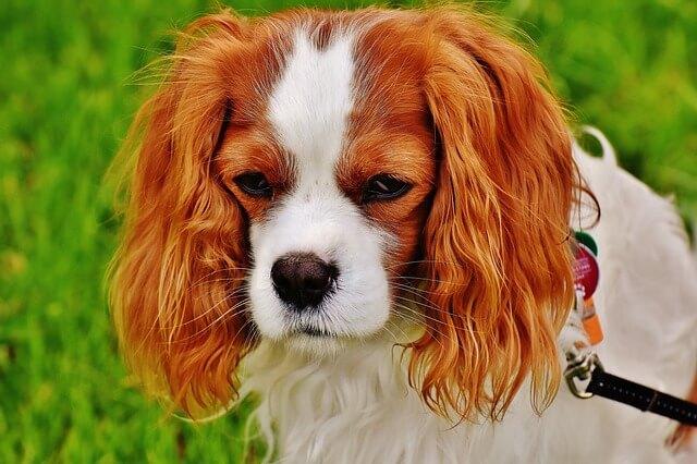 眠たそうな茶色い耳の犬