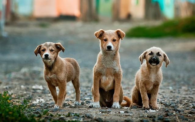 横に並んだ3匹の茶色の犬