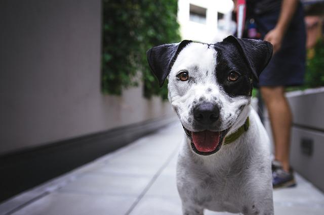 散歩中の白黒の犬
