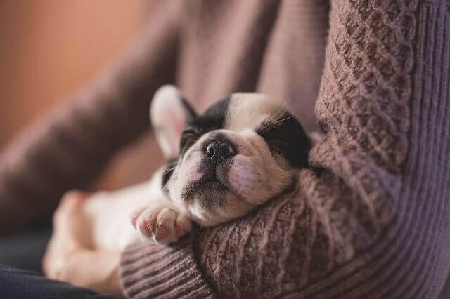 抱っこされながら寝るパグ