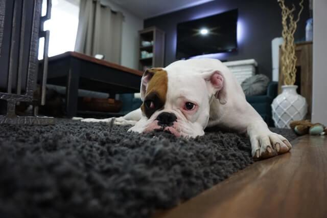 カーペットの上で寝る犬