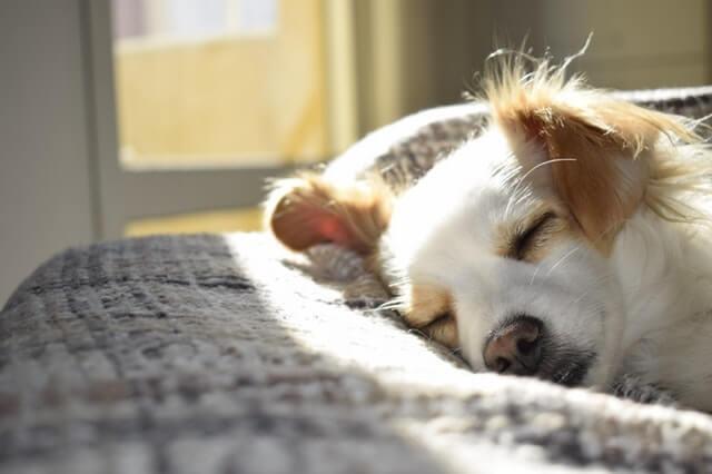 寝ている白い犬