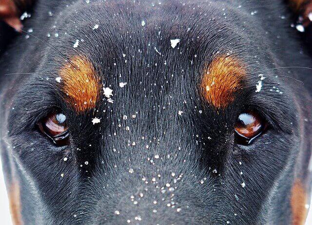 目がアップされた黒い犬