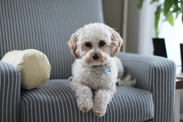ソファに座る子犬