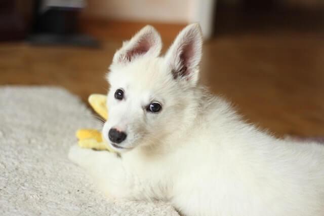 おもちゃで遊んでいる白い犬