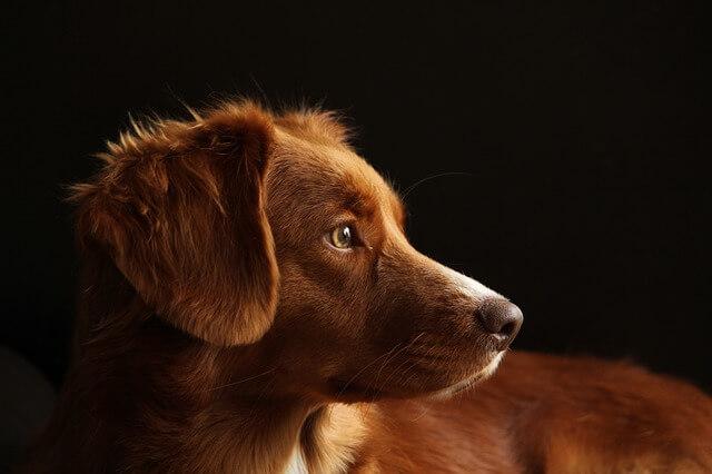 振り向いた茶色の犬